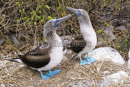 ecuador galapagos islands espanola two blue