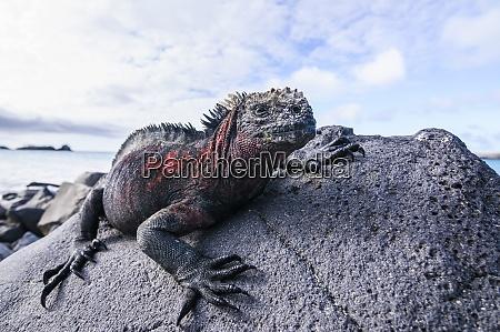 ecuador galapagos islands espanola marine iguana