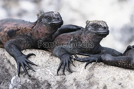 ecuador galapagos islands espanola marine iguanas