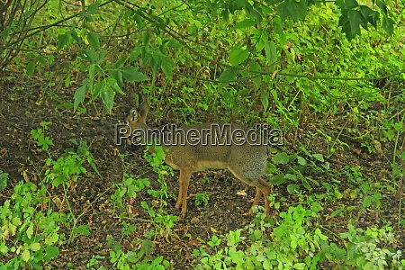 java mouse deer hiding in thicket