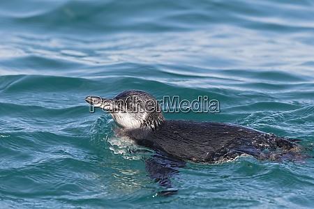 ecuador galapagos islands isabela swimming galapagos