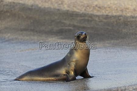 ecuador galapagos islands fernandina sea lion