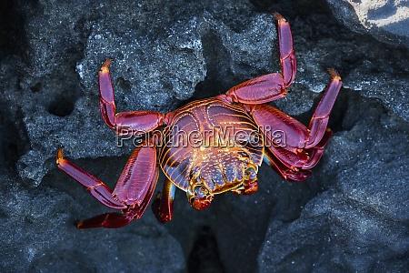 ecuador galapagos islands santiago red rock