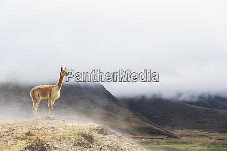 ecuador chimborazo vicuna standing on a