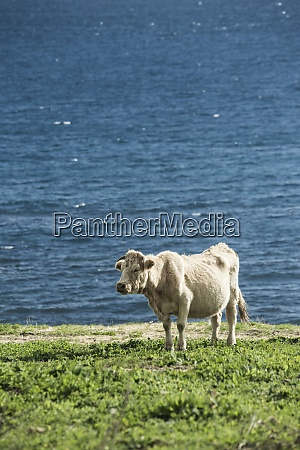spain andalusia tarifa pregnant cow standing