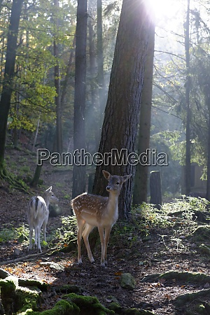 germany furth im wald fallow deers