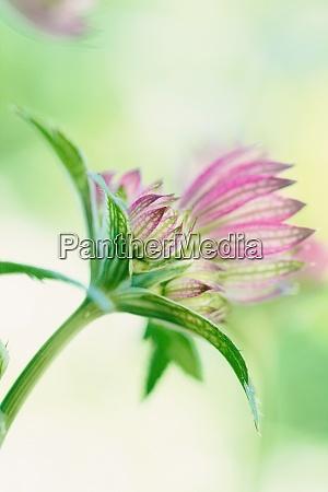 bud of pink great masterwort