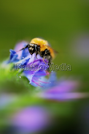 italy extreme close up of bumblebee