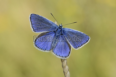 common blue butterfly on a spike