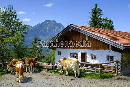 germany bavaria bad feilnbach cattle grazing