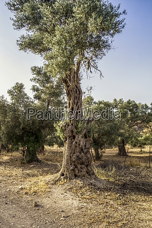 old olive tree at gortyn crete