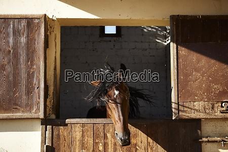 egypt el gouna horse in stable