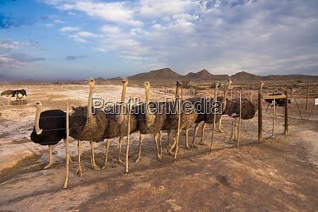africa south africa western cape ostrich