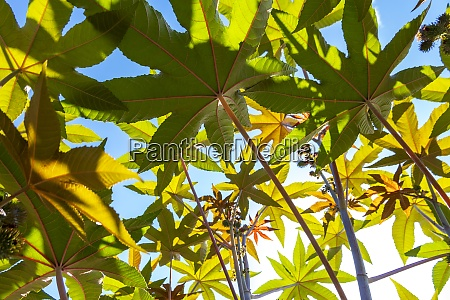 branches of castor oil plant ricinus