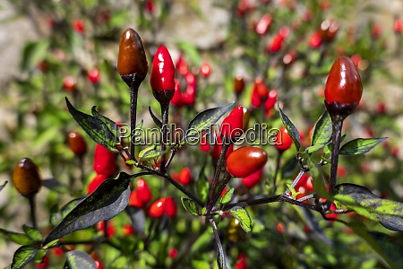 red chili peppers cultivated in bio