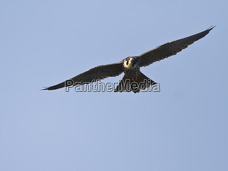 eurasian hobby falco subbuteo flying