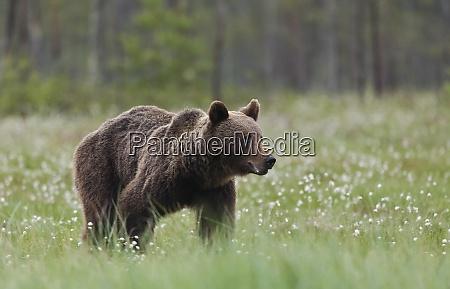 finland kuhmo brown bear at kainuu