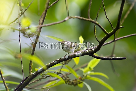 yellow browed warbler on a twig