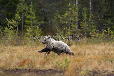 finland north karelia young brown bear