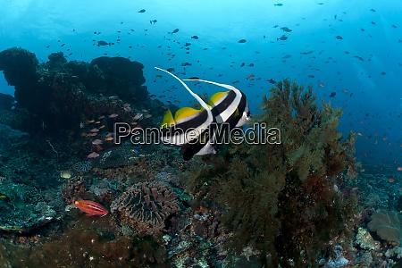 indonesia bali nusa lembongan long finned