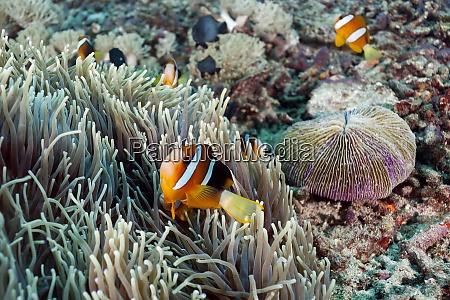 indonesia bali nusa lembongan clarks anemonefish