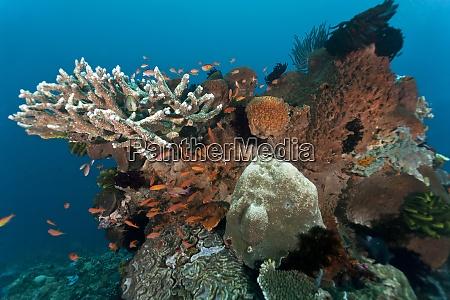 indonesia bali nusa lembongan lyretail anthias