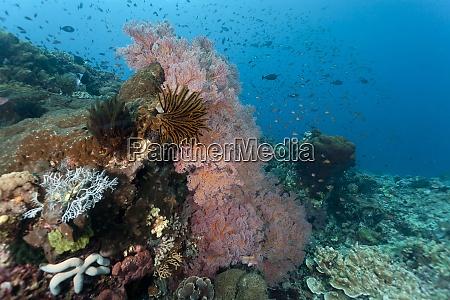 indonesia bali nusa lembongan gorgonian sea