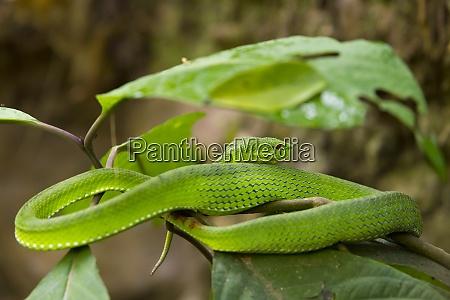 white lipped pit viper trimeresurus albolabris