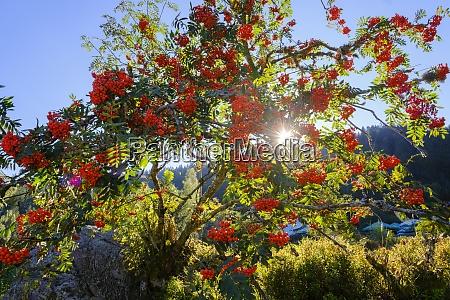 rowan tree sorbus aucuparia illuminated by