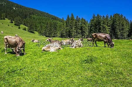 cattle grazing and relaxing in tannheimer