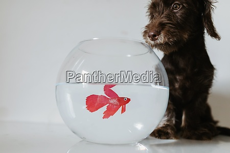 puppy sitting by fishbowl on table