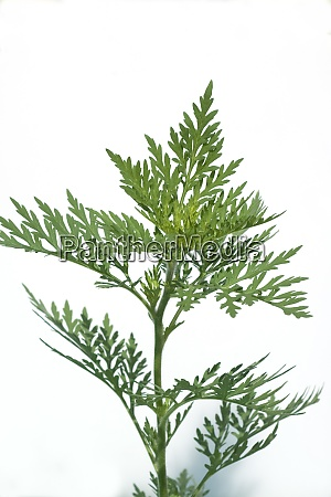 ambrosia ambrosia artemisiifolia