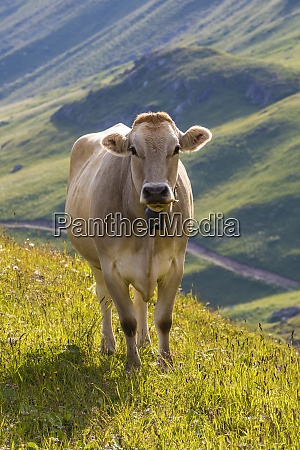 portrait of brown cow wearing cow
