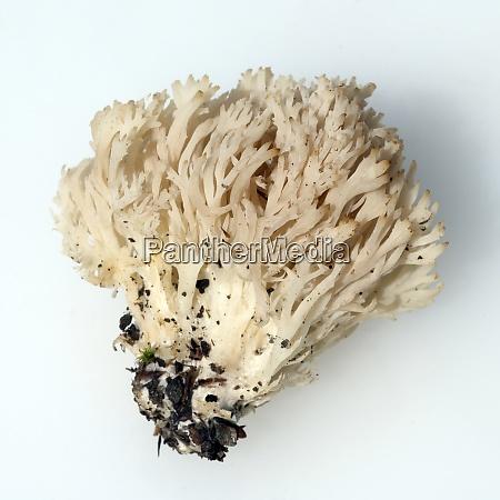 becherkoralle clavicorona pyxidata