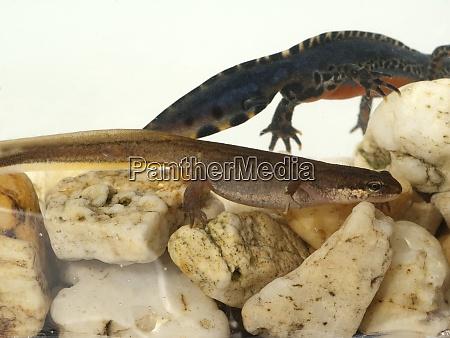 bergmolch ichthyosaura maennchen weibchen
