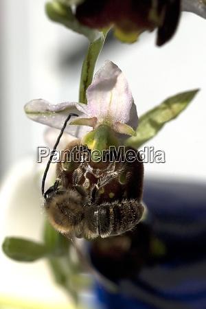 bienen ragwurz ophrys apifera orchidee