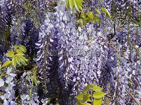 blauregen wisteria sinensis chinesischer glyzine