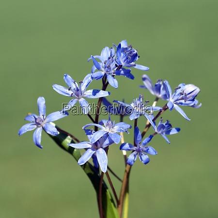 blaustern scilla sibirica