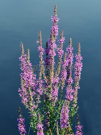 blutweiderich lythrum salicaria heilpflanze wasserpflanze