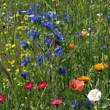 blumenwiese wiesenblumen