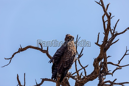 majestic martial eagle perched on dead