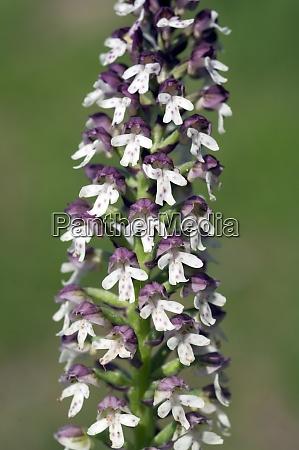 brand knabenkraut orchis ustulata