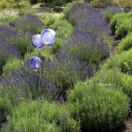 lavendel lavendula hidcote blue