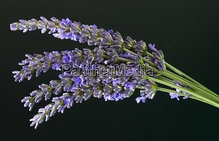 lavendelstrauss lavendel lavendula angustifolia