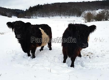 galloway sattelrind belted galloway winter schnee