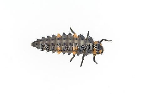 marienkaeferlarve