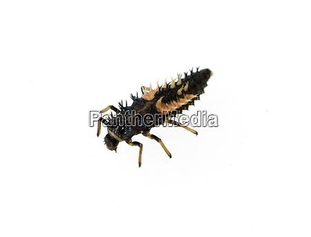 marienkaeferlarve asiatischer marienkaefer