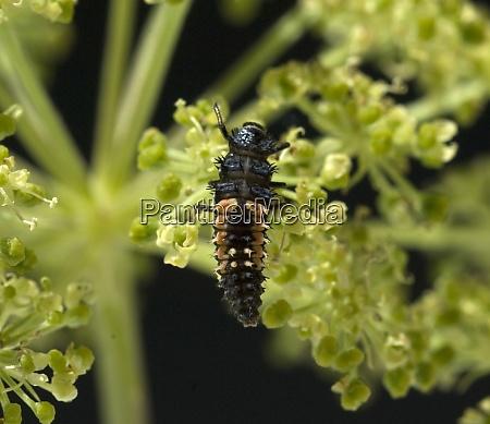 larve asiatischer marienkaefer