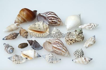 meeresschnecken astraea undosa marine snails