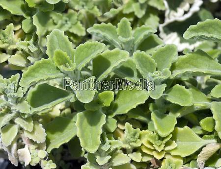 mentholpflanze coleus species